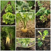 picture of kohlrabi  - Collage of garden images  - JPG