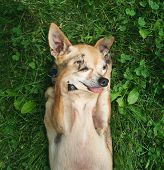 picture of applehead  - a cute chihuahua lying in the grass - JPG