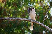 pic of kookaburra  - Kookaburra bird with mouse in beak after hunting and catching rodent in natural vegetation - JPG
