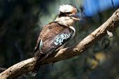 image of kookaburra  - Australian kookaburra bird sitting on branch in tree - JPG
