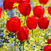 Red tulips parterre