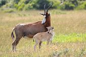 stock photo of antelope horn  - Blesbok antelope standing protectively next to it - JPG