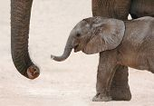 stock photo of calf  - Cute baby African elephant reaching out with it