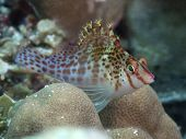 foto of hawkfish  - Dwarf hawkfish in Bohol sea Phlippines Islands - JPG
