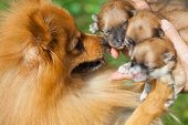 stock photo of pomeranian  - pomeranian dog - JPG