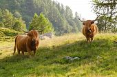 pic of highland-cattle  - two highland cattles grazing in mountain pasture - JPG