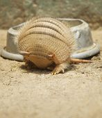image of armadillo  - Vertical photo of an armadillo rolling in - JPG