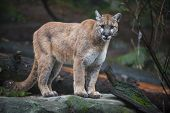 stock photo of cougar  - Beautiful Adult Mountain Lion standing on a rock close - JPG