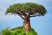 picture of baobab  - Green baobab at sunny day - JPG