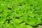 stock photo of water cabbage  - Water lettuce plant float above water  - JPG
