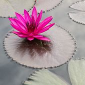 picture of floating  - blooming pink lotus flower floating in the lake - JPG