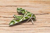 stock photo of hawk moth  - Close up of Oleander Hawk-moth or army green moth (Daphnis nerii) perching on old plank of wood, side view
