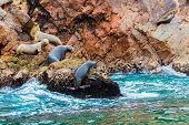 picture of ica  - South American Sea lions relaxing on rocks of Ballestas Islands in Paracas National park Peru - JPG