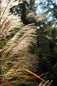 image of pampas grass  - Morning Sun shinning through the tall pampas grass