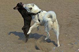 image of laika  - Two young dogs French bulldog and Samoed laika plays on a sandy sea beach - JPG