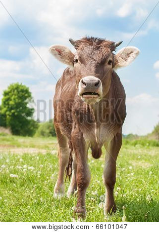 The Calf On A Summer Pasture