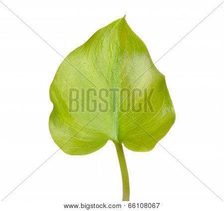 Calla Palustris Leaf