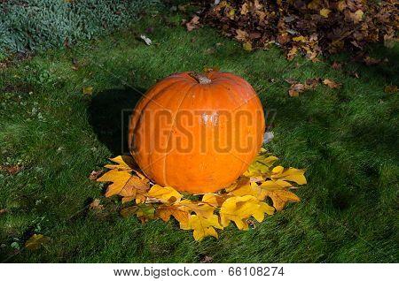 Big Pumpkin And Leaves Dekoration In Yard