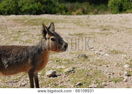patagonic rabit