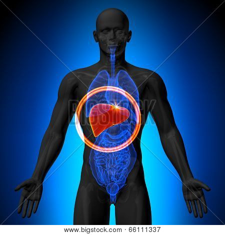 Liver - Male anatomy of human organs - x-ray view