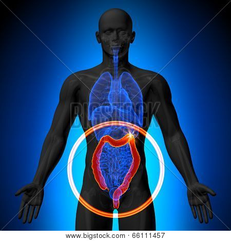 Colon / Large Instestine - Male anatomy of human organs - x-ray view