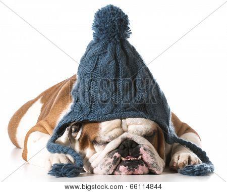 dog wearing knit winter hat on white background - english bulldog