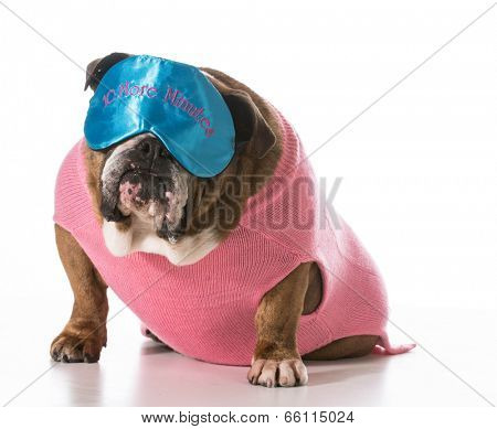 dog wearing sleep mask sitting on white background - english bulldog