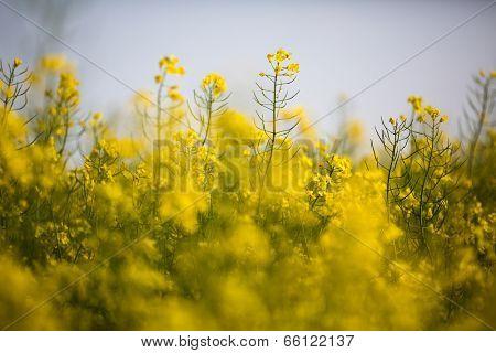 Colza (Brassica rapa)