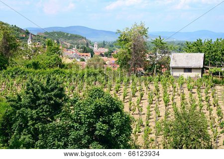 vineyard in Tokaj