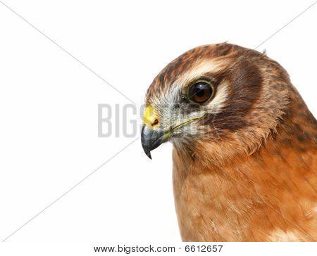 Birds Of Europe And World - Montagu's Harrier (circus Pygargus)