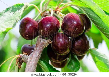 Bunches Of Ripe Juicy Cherry Dark Bordo Berry