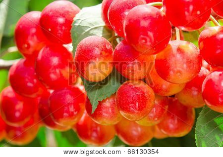 Sunlit Bunch Of Yellow Red Cherry Berry