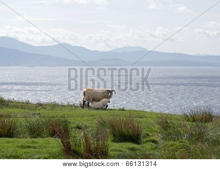 Sheep And The Sound Of Sleat