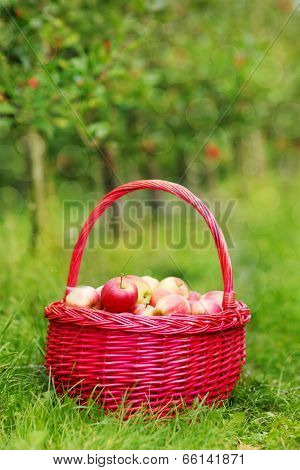 Organic Red Apples In A Basket Outdoor. Orchard. Autumn Garden.
