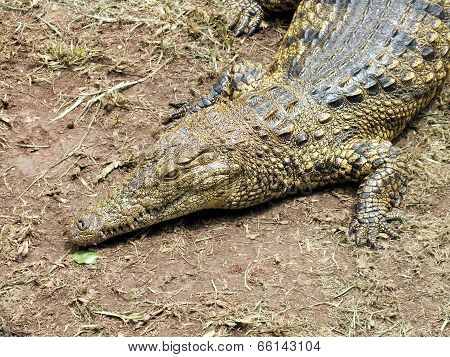 Nile Crocodile (crocodylus Niloticus) Close Up