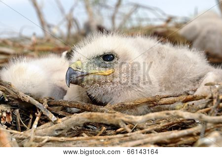 Nestling Long Legged Buzzard
