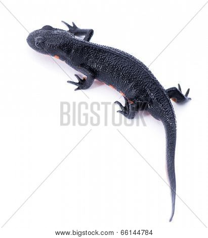 Japanese fire belly newt, Cynops pyrrhogaster isolated on white background