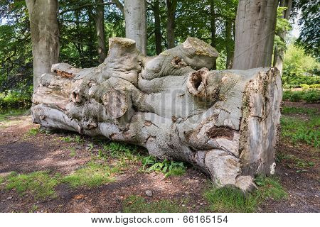 Section Of A Felled Giant Beech Tree
