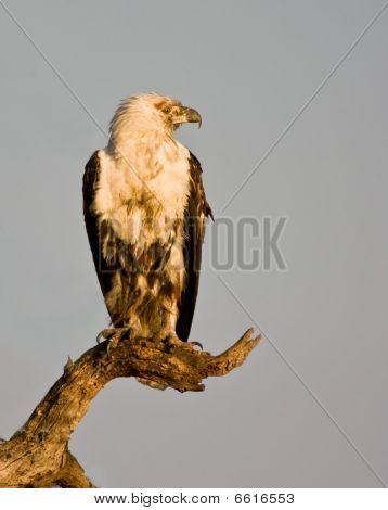 Águila pescadora inmaduros Fotos stock e Imágenes stock | Bigstock