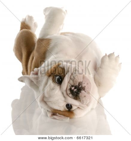 Bulldog Puppy Upside Down