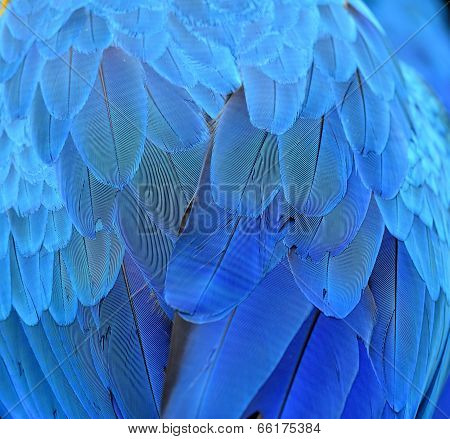 Beutiful Of Blue Macaw Bird Feathers In Close Up