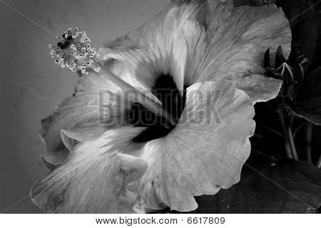 Hibiscus in Black and White  Img_2984