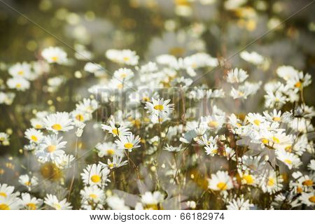 Artistic double exposure of spring meadow with marguerite flowers