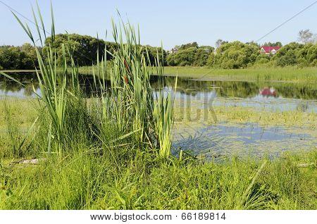 Lake Overgrown With Duckweed
