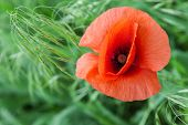 image of opiate  - Big red poppy flower on a meadow close up - JPG