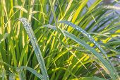 foto of sunshine  - Lemongrass leaf with drop of meadow in sunshine day  - JPG