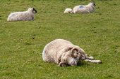 stock photo of ram  - sleeping ram in the pasture on the Dingle Peninsula - JPG