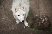 stock photo of white wolf  - Arctic Wolf  - JPG