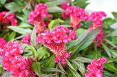 picture of cockscomb  - Pink Celosia argentea Cockscomb or Chinese Wool Flower in the garden - JPG