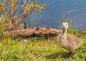 image of baby goose  - Canada Goose Gosling sitting in the grass next to a swamp - JPG